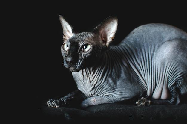 Кошка сфинкс на черном фоне, элегантная, красивая