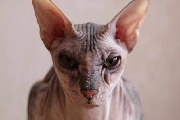 スフィンクス猫の肖像画のクローズアップ