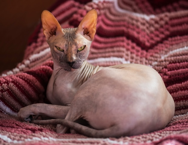 Голая кошка сфинкс на изолированной ткани