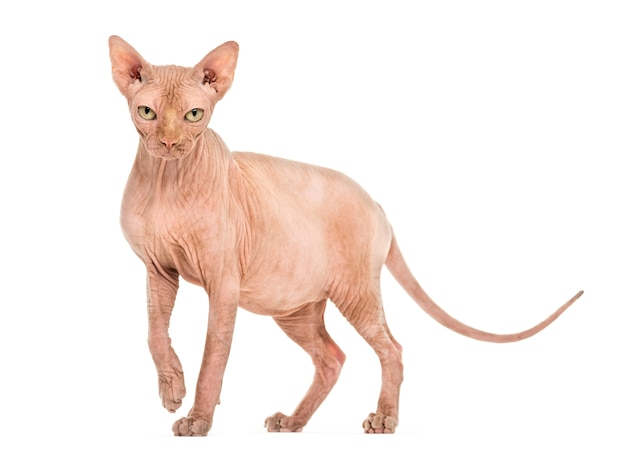 スフィンクス無毛猫の肖像画