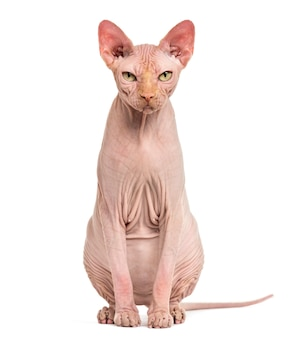 孤立したポーズのスフィンクスヘアレス猫