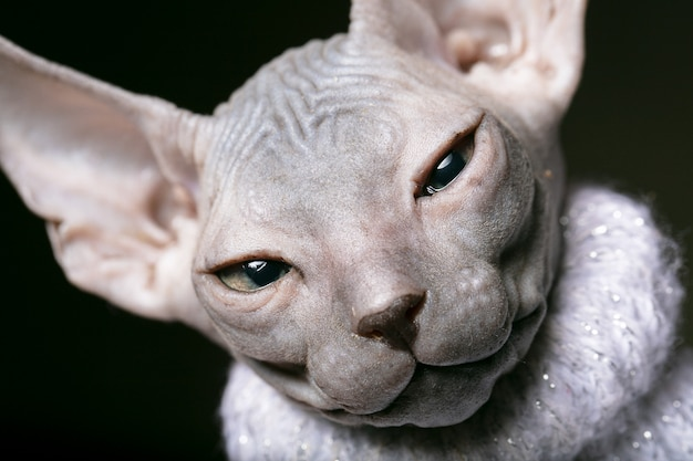 Сфинкс котенок морда лысого кота крупным планом.