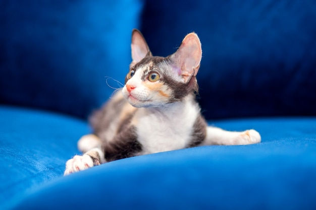 スフィンクスメスティーソ子猫はソファに座っています。