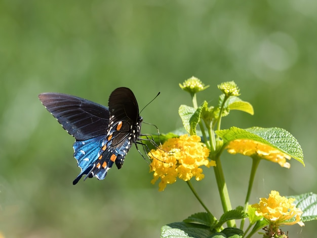 Spicebush swallowtail butterfly sitting on a flower