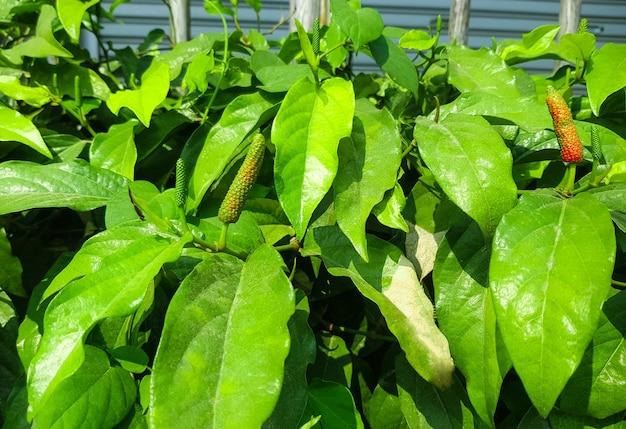 Индийский длинный перец специи заделывают на органической ферме