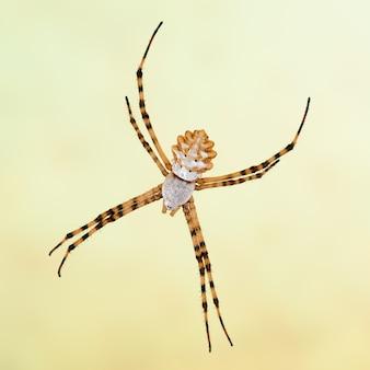 거미 argiope lobata, lobed argiope, 암컷. 매크로 촬영.