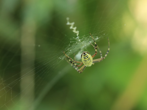 Spider argiope on the web