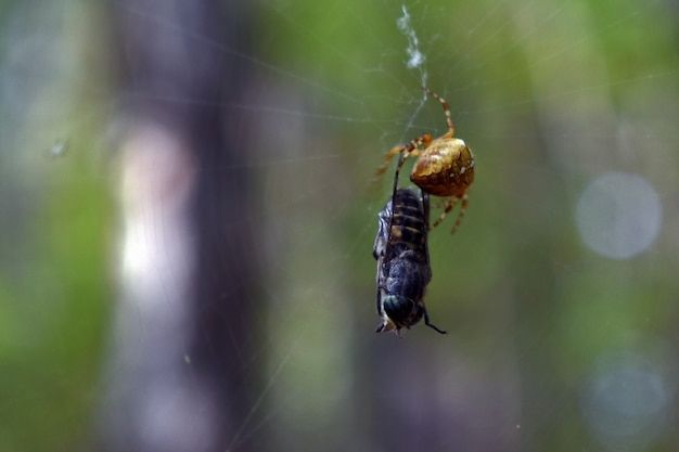 Spider caught a fly in a web in the woods