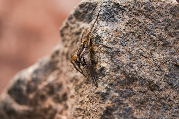 The spider caught the prey and holds it in its paws while sitting on a stone