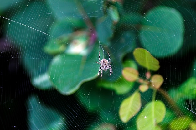 A spider on the cobweb waiting for a prey