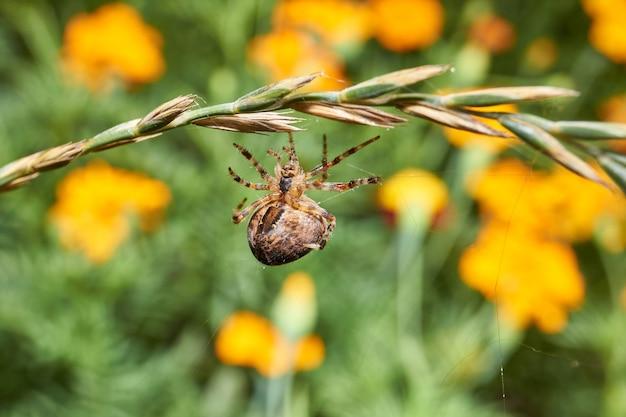 거미 십자가(lat. araneus)는 강한 바람에 찢어진 거미줄을 수리합니다.