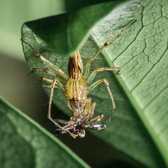 Spider eating spider
