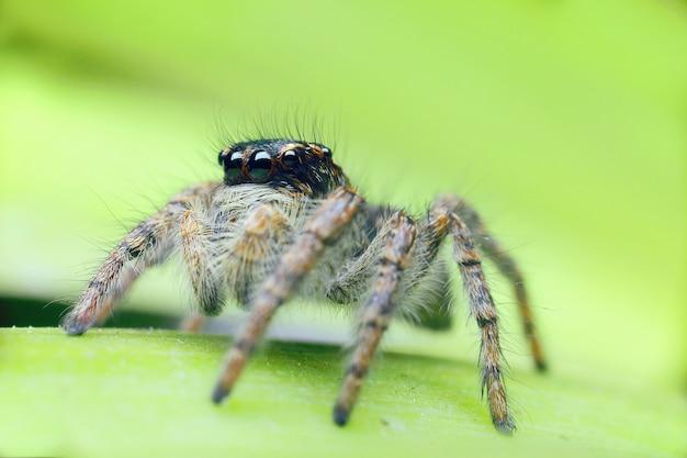 緑の葉に大きな目を持つクモの馬