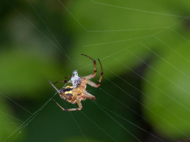 Паук в своей паутине с преследуемым насекомым.
