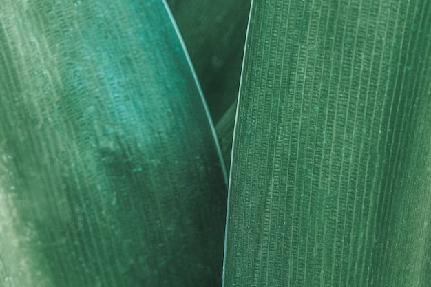 Spider lily or giant crinum lily leaves macro photography