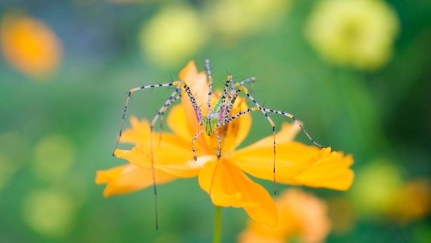 Spider macro on the flower on nature green background - close up beautiful and colorful spider strange rare