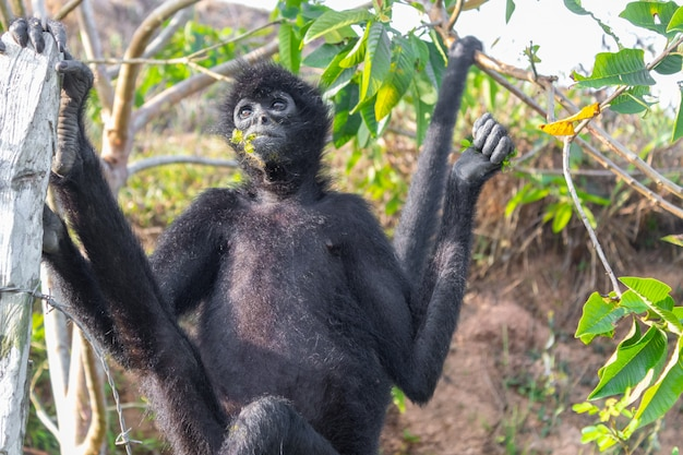 A spider monkey forages for food in the forest