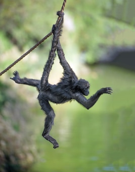 Spider monkey swings on a rope