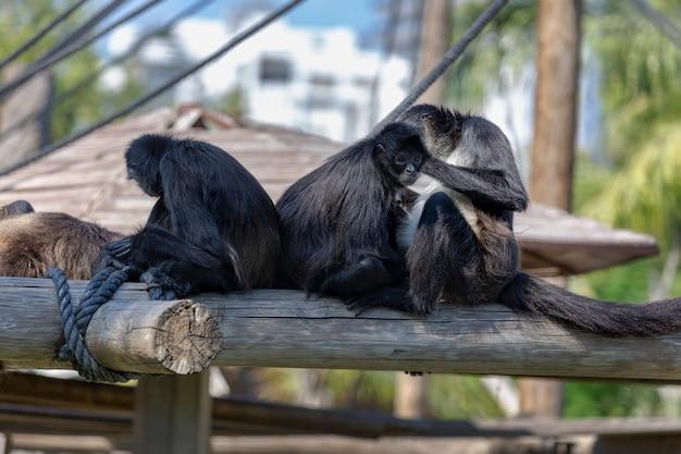 거미 원숭이는 멸종 위기에 처한 동물입니다. 세 마리의 검은 제프로이의 거미 원숭이(ateles geoffroyi)가 통나무 위에 함께 앉아 있습니다. 중남미의 열대 우림에 서식합니다. 초상화를 위해 포즈를 취하다