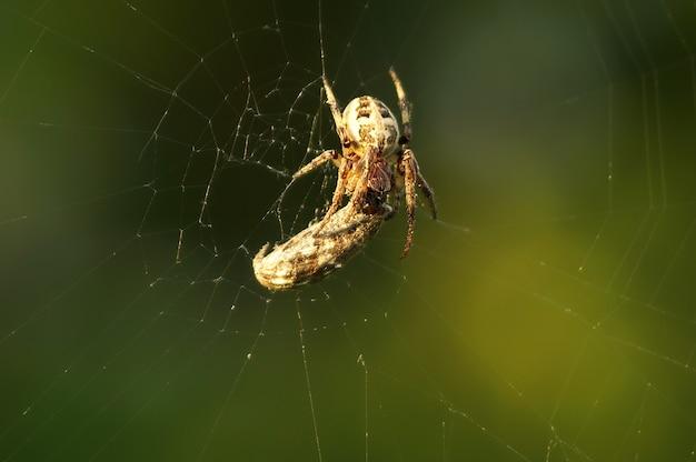 噛まれた後、蜘蛛の蛾が網に引っ掛かり、絡まった