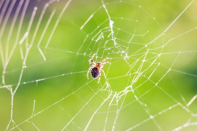 夏の朝の太陽に対する蜘蛛の巣の蜘蛛_