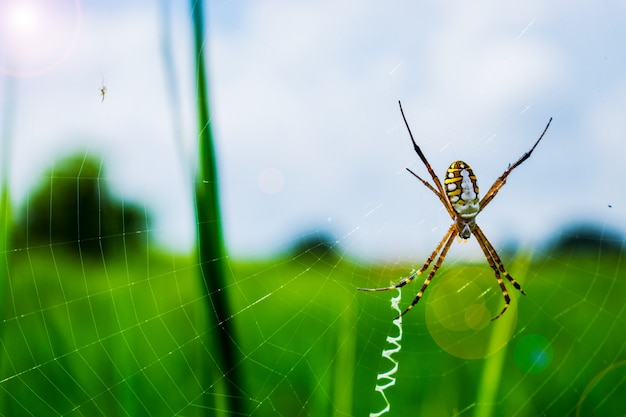 Spider on the spiderweb with field background.