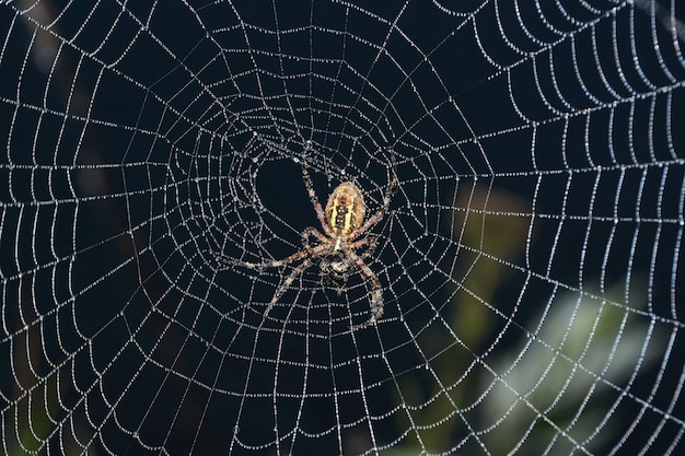 スパイダーワスプ(緯度argiope bruennichi)。夜明けに強い霧の中で露に覆われた蜘蛛と網。