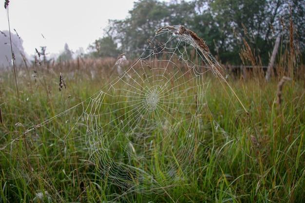 거미줄은 흐릿한 잔디와 숲의 배경에 대해 이삭 위에 뻗어 있습니다. 이른 아침의 적당한 색. 거미줄 반짝입니다.