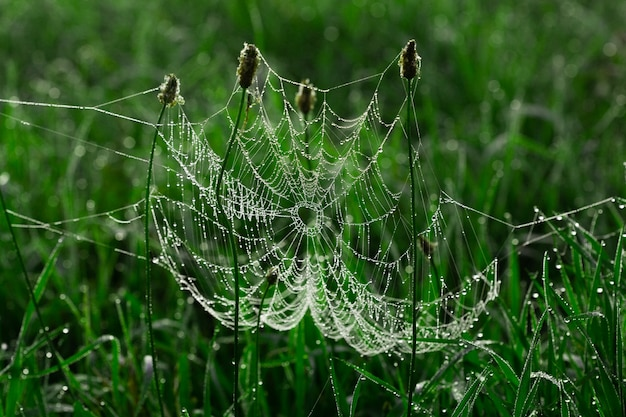 잔디에 이른 아침에 이슬이 있는 거미줄