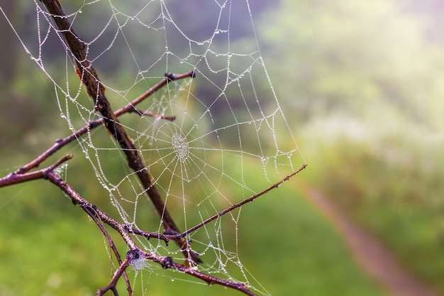 Spider web with drops dew  on a dry branch in the woods, a blurred background
