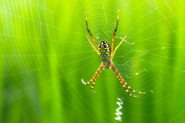 The spider with its web in the morning with the dew on the green paddy fields