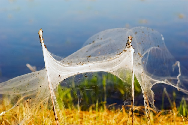 Spiders and the family in the webs between the bushes. siberia.