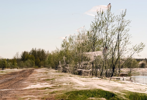 Spiders and the family in the webs on the trees near the pond. siberia. russia.