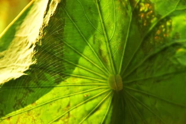 The spiderweb on the lotus leaf