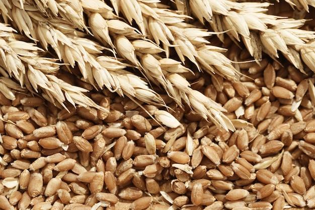 밀과 익은 씨앗의 스파이크를 닫습니다. 풍부한 수확 창의적인 개념.