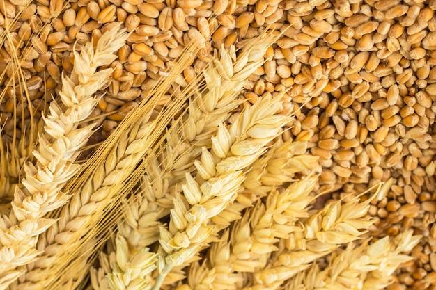 Колоски пшеницы и зерна пшеницы