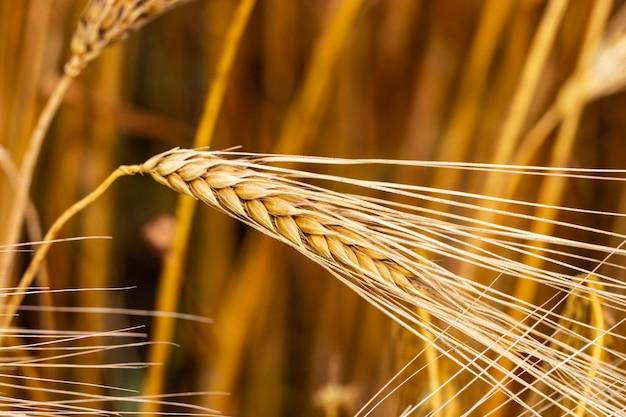 Колосок пшеницы закрыть