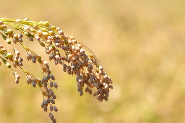 Spikelet of ripe millet of golden and yellow color lit by the rays of the summer sun on a blurred