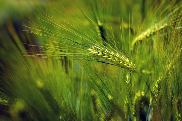 Spikelets of green brewing barley in a field.