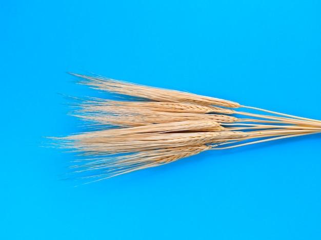 Колоски ячменя на синем фоне. простая плоская планировка. концепция сбора урожая.