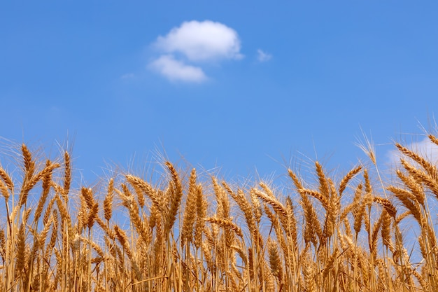 Колоски золотой пшеницы и голубого неба с одиноким облаком.