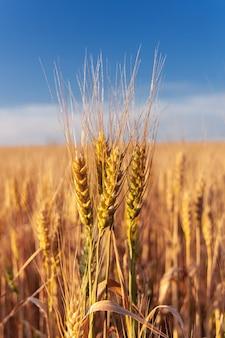 フィールド上の黄金の小麦の穂。夕暮れの田園風景。