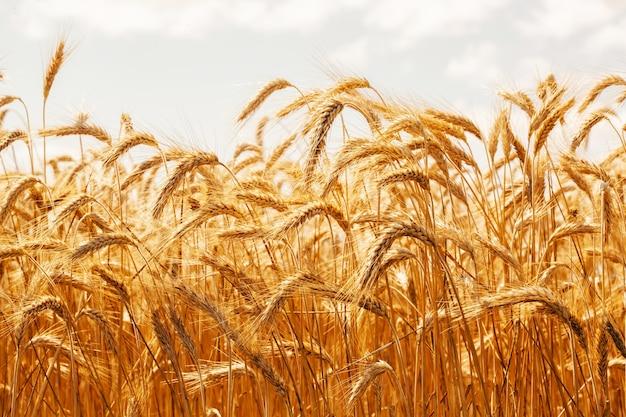 Колоски спелой пшеницы на фоне голубого неба