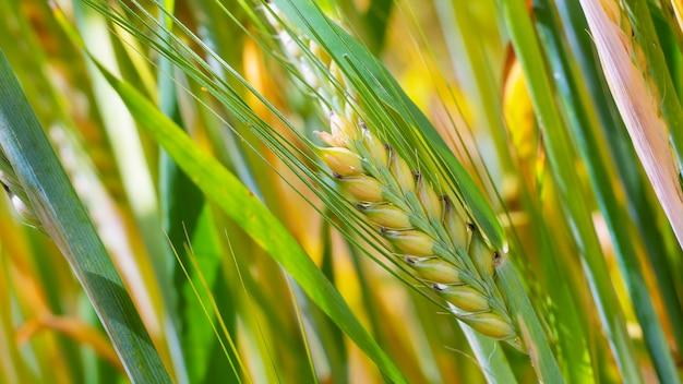 自然に夏のフィールドでライ麦の穂。