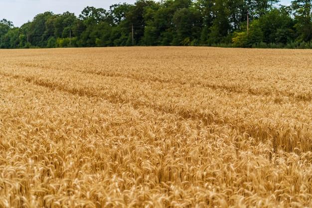 青い空を背景に小麦の小穂。背景に緑の木々。