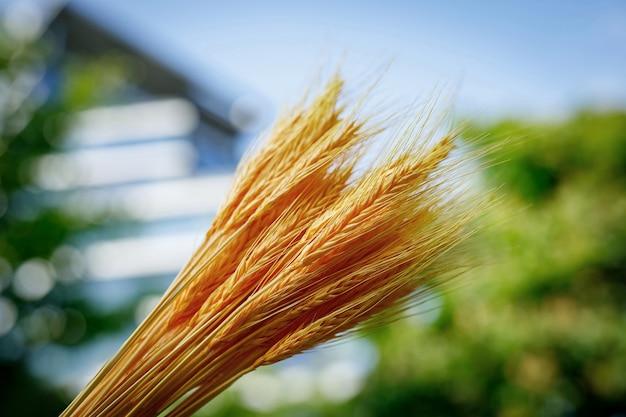 青い空を背景に小麦の小穂