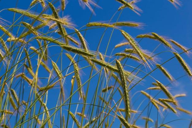 Колоски пшеницы крупным планом против голубого неба.