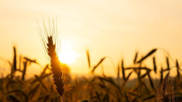 Колоски пшеницы крупным планом в лучах желтого теплого солнца на восходе солнца, рассвет над пшеничным полем в сельской местности.