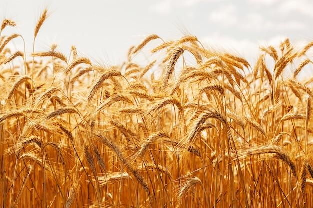 Колоски пшеницы крупным планом. спелая пшеница на фоне голубого неба