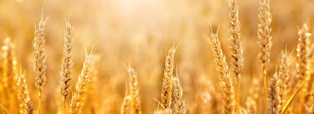 Колоски пшеницы в поле на солнце, панорама